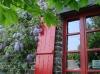 La glycine habille le mur de la maison aux volets rouges