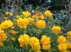 Coréopsis jaune, idéale pour vos rocailles