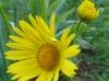 Doroniques jaunes
