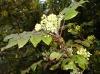 Mahonia, arbuste à fleurs jaunes