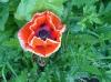 La fleur rouge sang du pavot d'orient