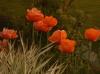 Les pavots rouges décorent le jardin de Carreco