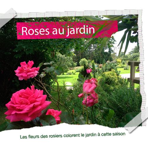 Rosier rose au jardin