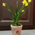 Qu'ils soient jaunes, blancs ou panachés, les narcisses ont fait leur apparition depuis plusieurs jours dans le jardin. Ces premières fleurs du printemps, particulièrement appréciées après les longs mois d'hiver, […]