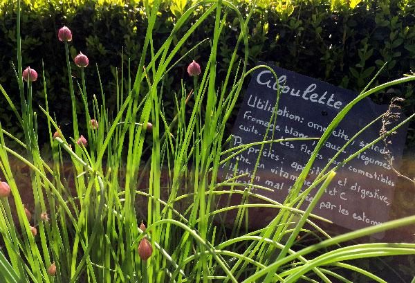 Ciboulette dans le jardin potager