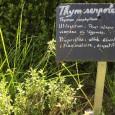 Les aromatiques parfument le jardin et subliment nos plats. De nombreuses variétés existent toutes très différentes les unes des autres. L'angélique, une plante très aromatique Appelée angélique des bois ou […]