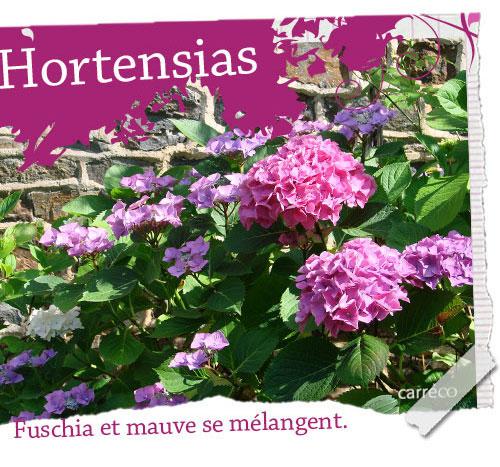 Les hortensias de Carreco