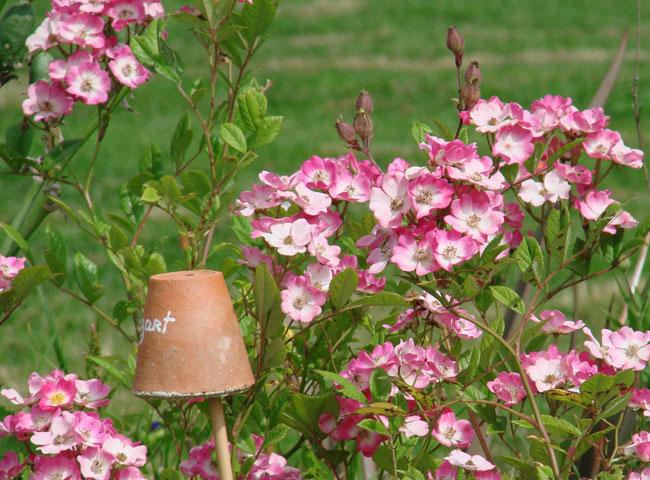 Roses jardin de Carreco